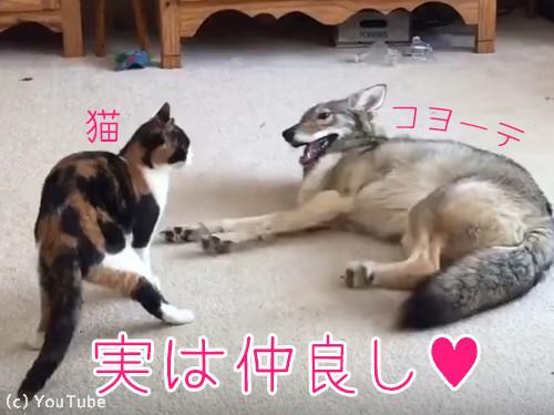 猫とコヨーテ00
