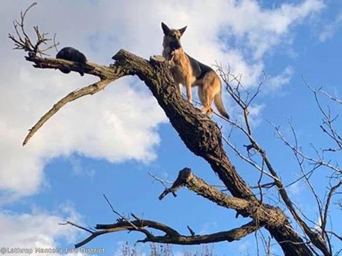 シェパードが木から降りられなくなる00
