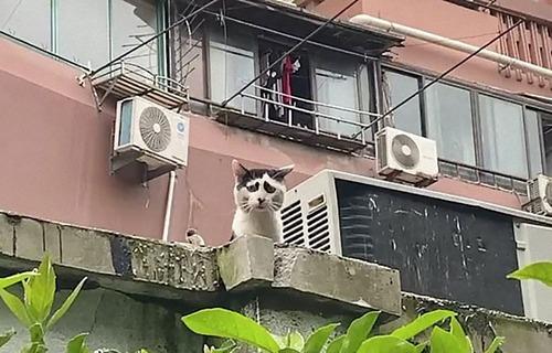 困り顔の猫01