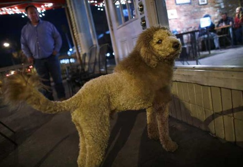 ライオンと間違えられる犬01
