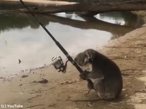 一体なぜ? 釣りを楽しむコアラが発見される00