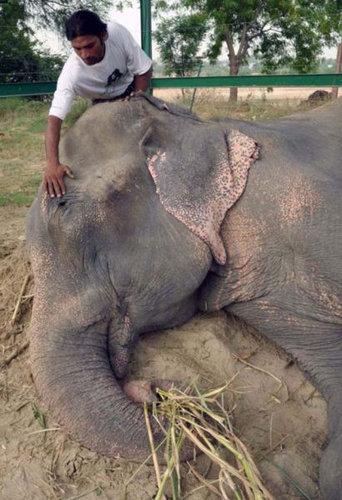 50年間インドで監禁されていたゾウが救出される12