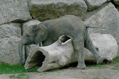 ゾウが転倒したときの表情01