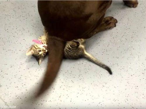 犬のしっぽで遊ぶ子猫04