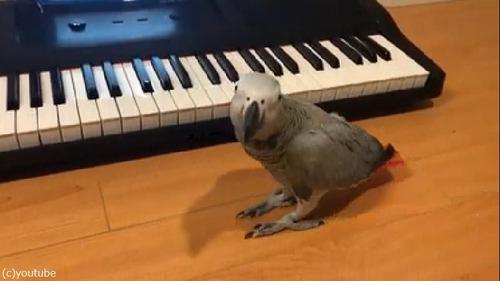 ペットのインコ、キーボード奏者になる04
