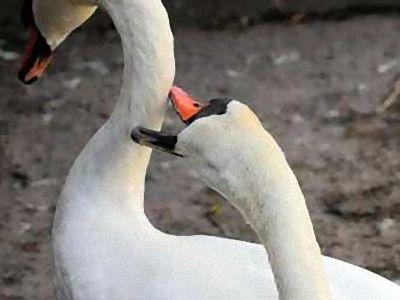 ハンニバル白鳥