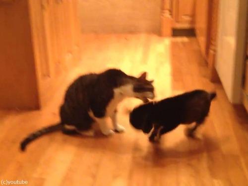 猫に頭突きをしたい赤ちゃんヤギ03