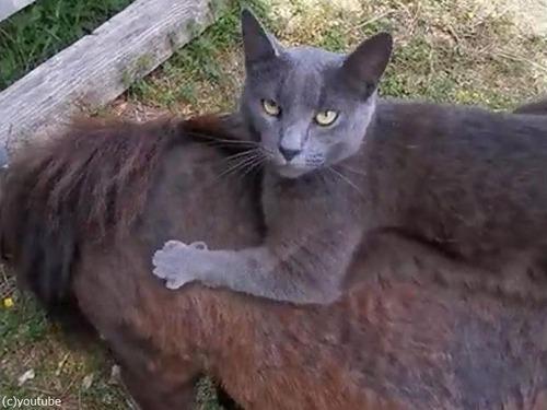 猫、ミニチュアホースを乗りこなす01