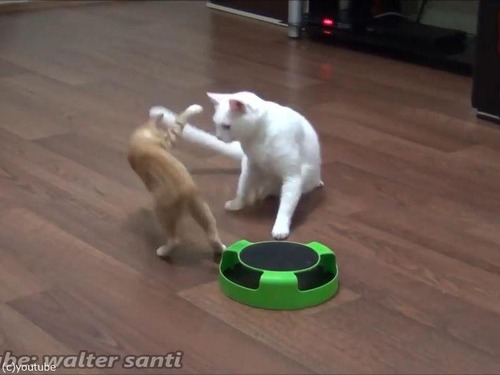 子猫、おとな猫を驚かすのが大好き02
