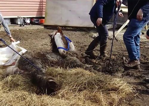 死にかけていた馬が神々しいほど美しくなる01