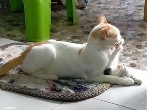 子猫を押さえつけて溺愛するママ猫