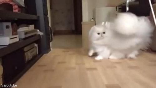 綿毛のような猫03