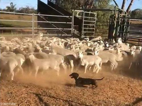 牧羊犬はダックスフンド00