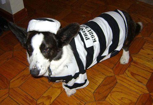 コーギー犬コスプレ20
