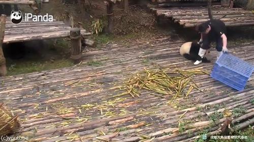 かまってほしくて仕方がないパンダ03