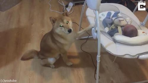 子守りのプロ柴犬03