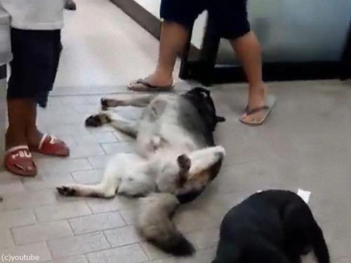 コンビニの前で熟睡する犬01
