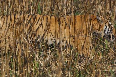 虎のカモフラージュ01