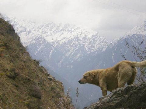 ヒマラヤ登山に犬が着いてきた06