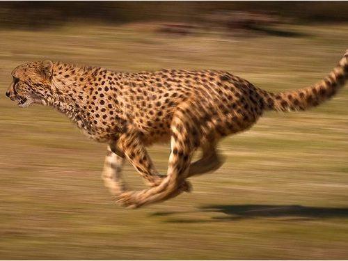 陸上最速の動物01