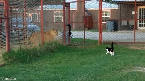 ライオンを挑発する猫03