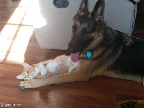 大きさは違えど…子猫と仲良しのシェパード05