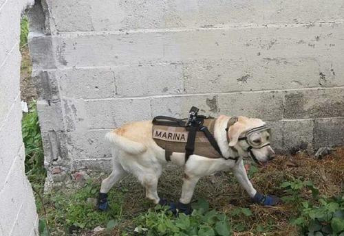 メキシコ地震で52人を救った犬05