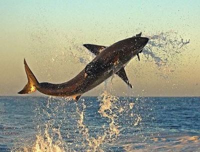 飛び跳ねるサメ07