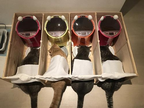 他の猫のエサを食べるデブ猫対策07