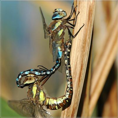 虫の交尾01