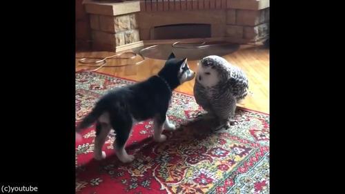 子犬とフクロウの愛情05