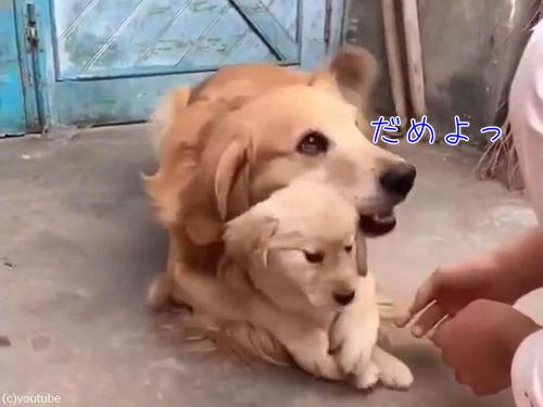 過保護な犬00