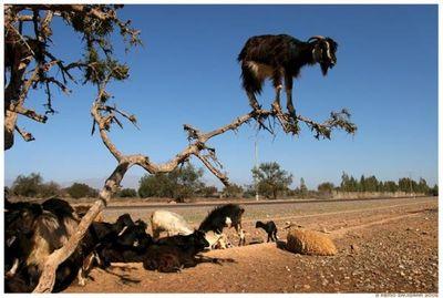ヤギが木登り、山羊が木に登るTOP