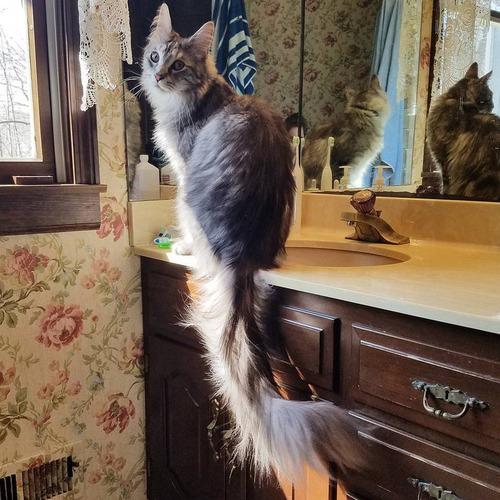 猫のしっぽが世界記録に03