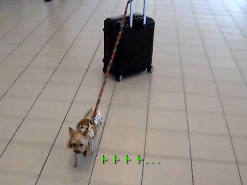 空港で荷物を運ぶ犬00