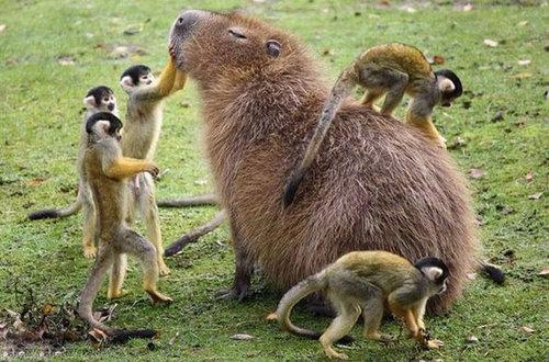 他の動物と仲良しのカピバラ13
