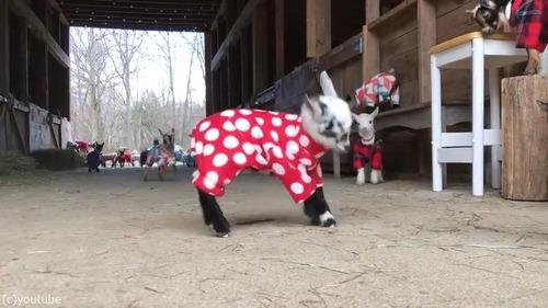 赤ちゃんヤギたちのパジャマパーティー03