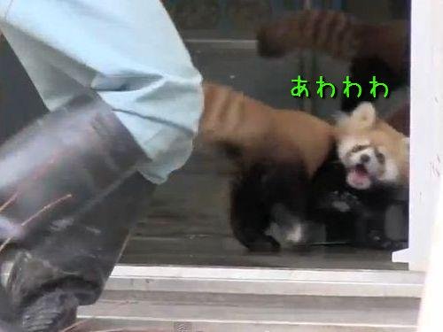 レッサーパンダのリアクション