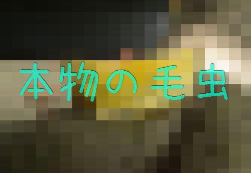 「ハイイロモンキタイランチョウ」06