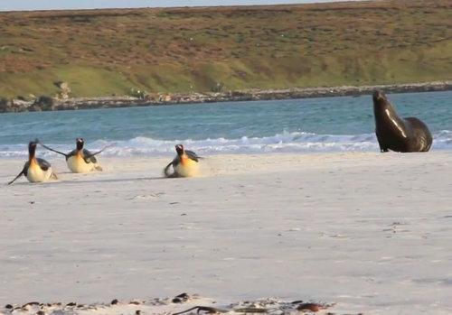 アシカから逃げるペンギン01