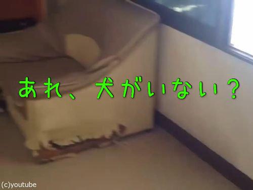 ハスキー犬「これが今の僕の人生です。僕はソファです」00