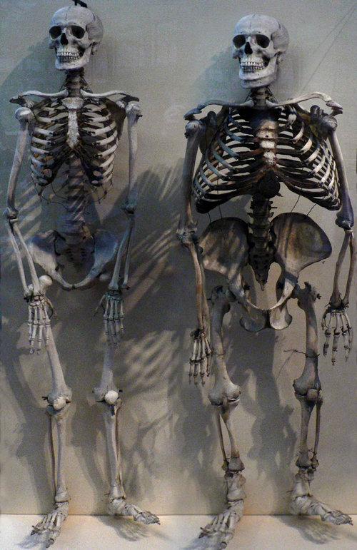 ヒトとゴリラの骨格を比べると04