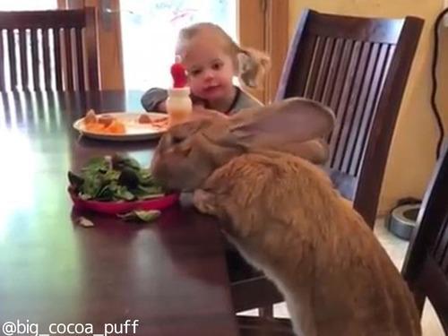 うちの大きなウサギは一緒に朝食を食べる00