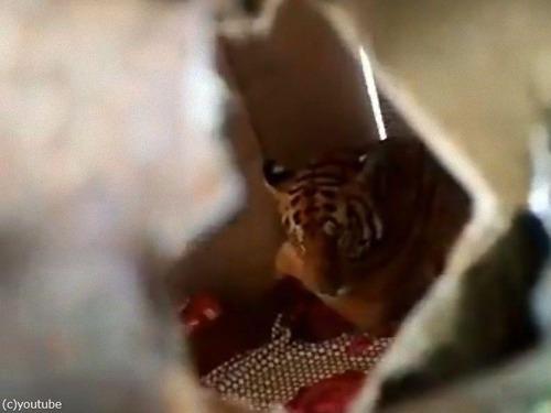 自宅のベッドでくつろぐ虎