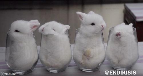 ガラスのコップとウサギ4匹03
