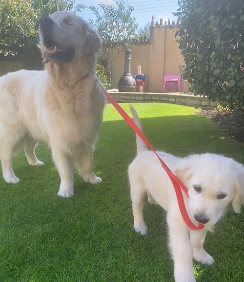 子犬が盲目の犬のためにガイド役になる01