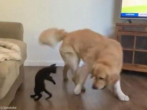 猫に負けてあげるレトリバー00