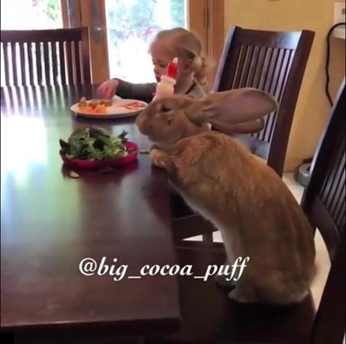 うちの大きなウサギは一緒に朝食を食べる01