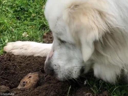 新しい穏やかな犬がホリネズミを愛でる03