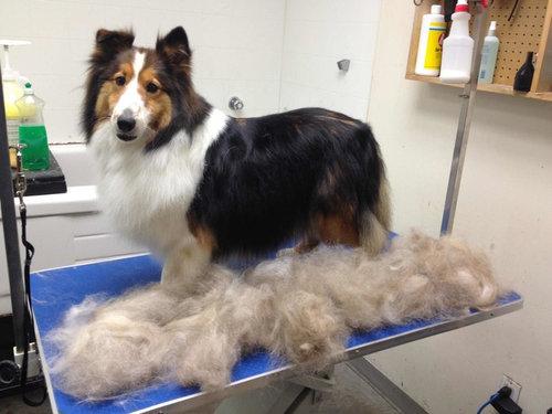 犬の毛変わり01
